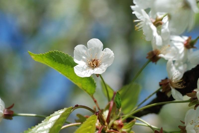 2020-04-11-EmR-cerisier01-1024x685