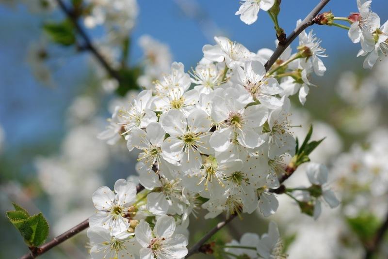 2020-04-11-EmR-cerisier03-1024x685