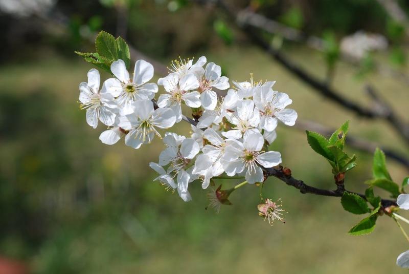2020-04-12-EmR-cerisier02-1024x685